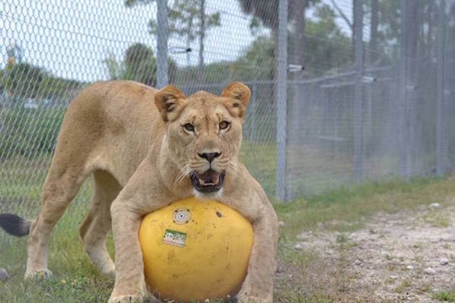 Lion country safari discount tickets videos hours for Lion country safari cabins